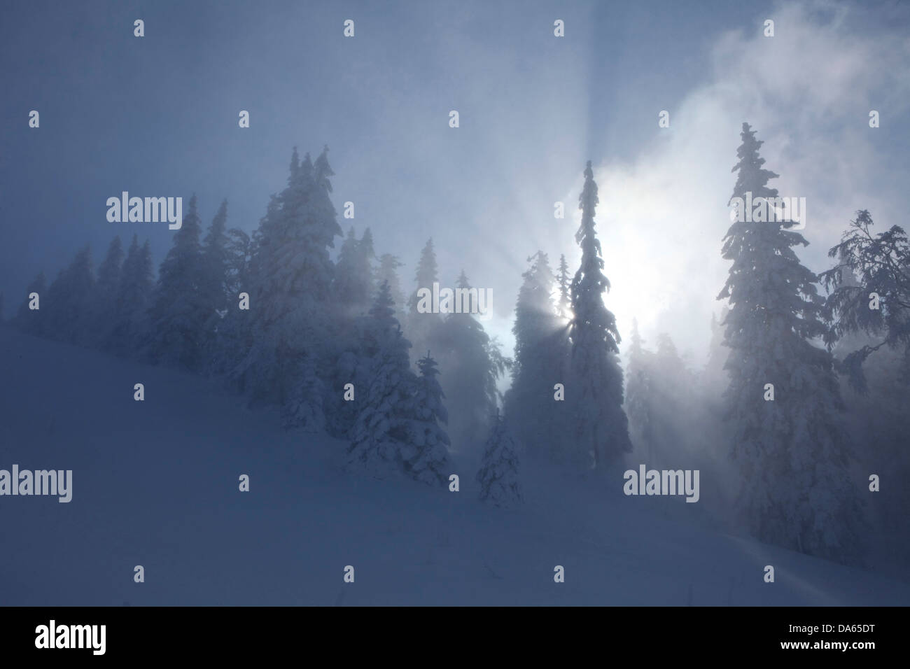 Winter trees, winter, canton, VD, Vaud, snow, tree, trees, wood, forest, snow, firs, Switzerland, Europe, sun, Col - Stock Image