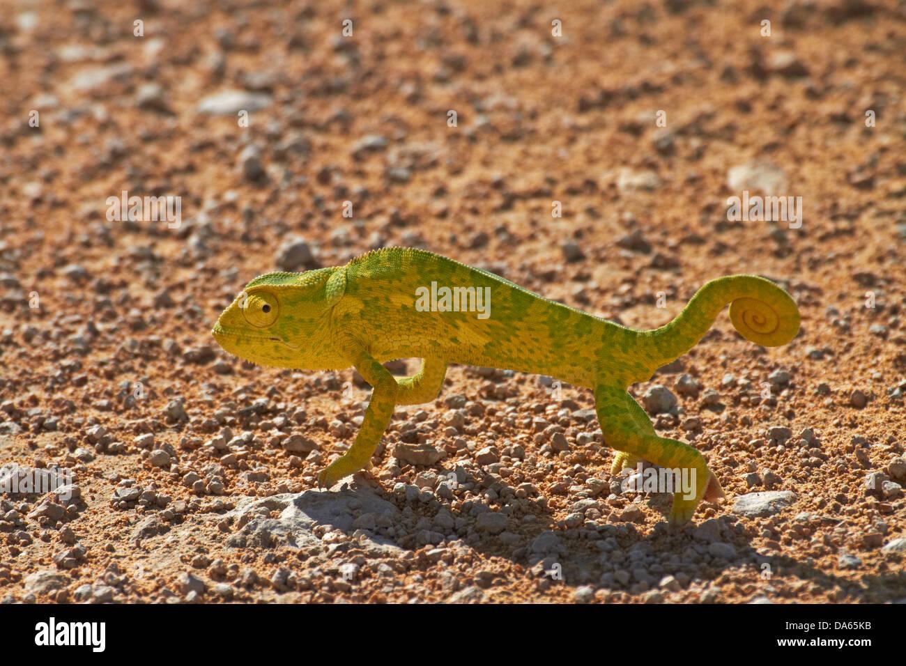 Chameleon, Etosha National Park, Namibia, Africa - Stock Image