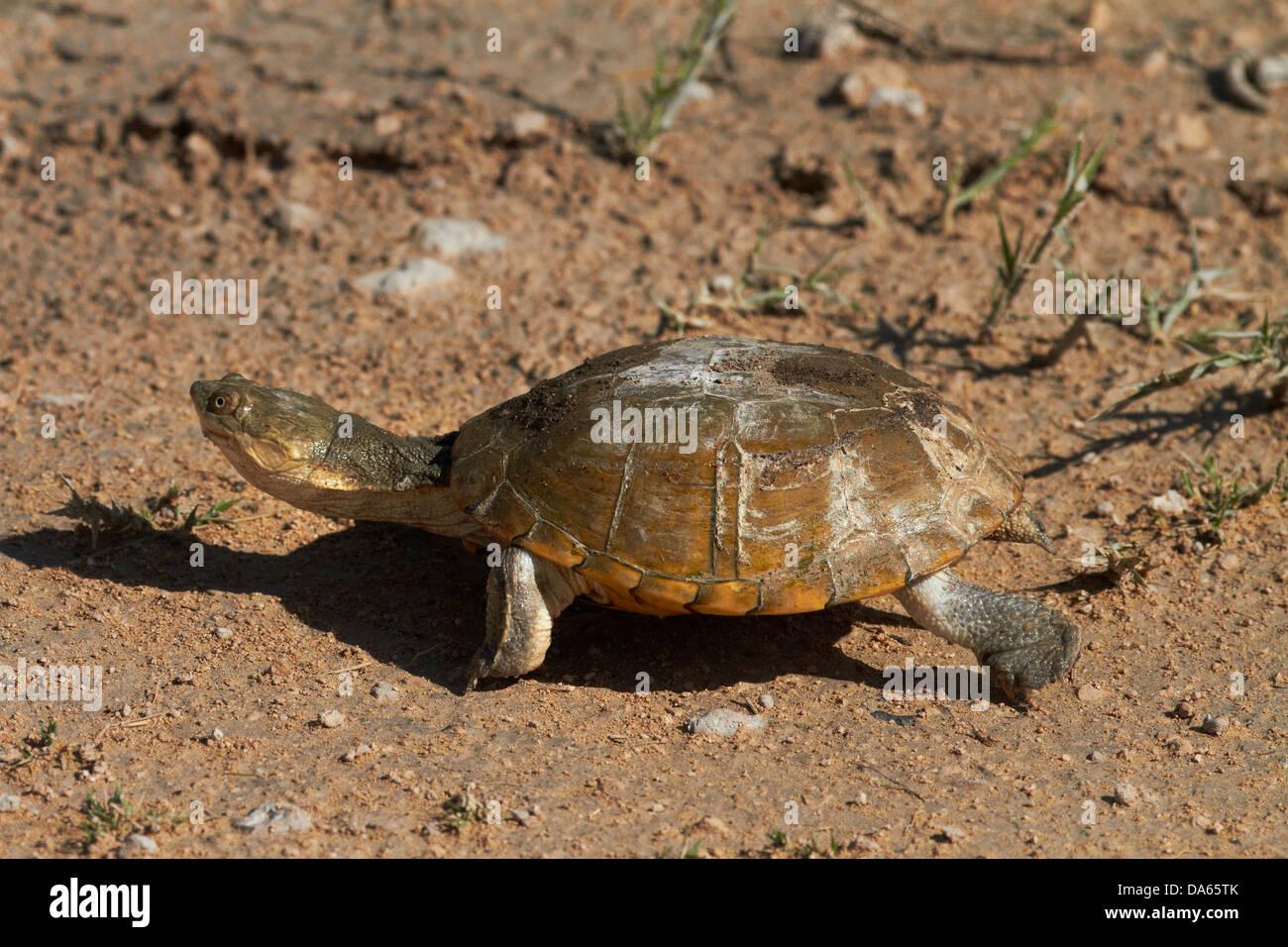 Terrapin, Etosha National Park, Namibia, Africa - Stock Image