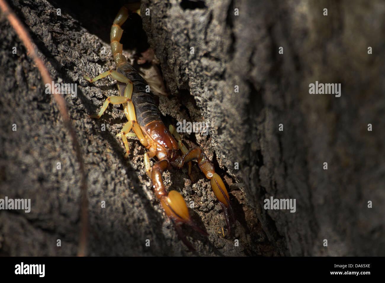 Large scorpion, Etosha National Park, Namibia, Africa - Stock Image