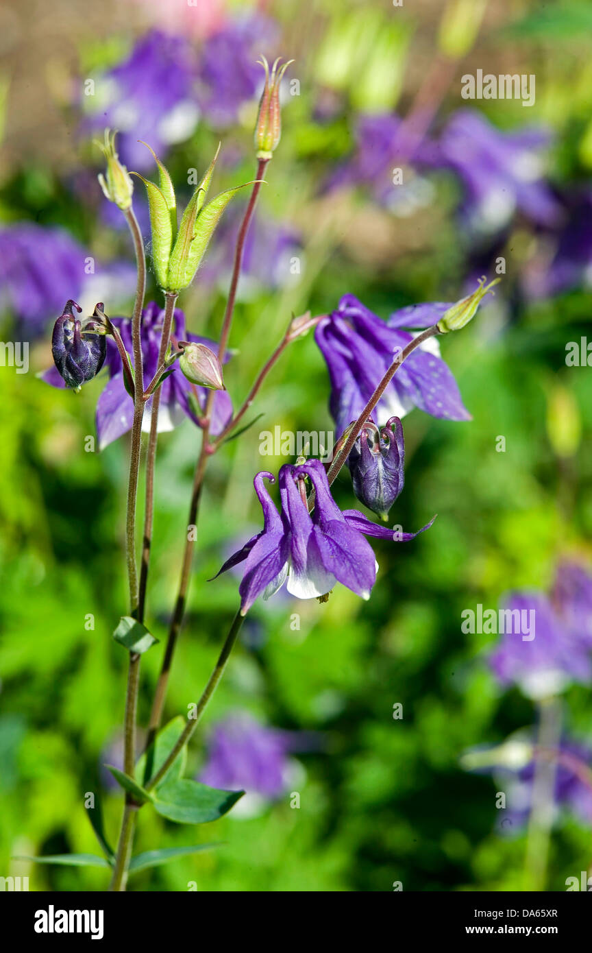 Bell shaped purple flowers stock photos bell shaped purple flowers a close up of three purple bell shaped columbine flowers in a garden setting mightylinksfo
