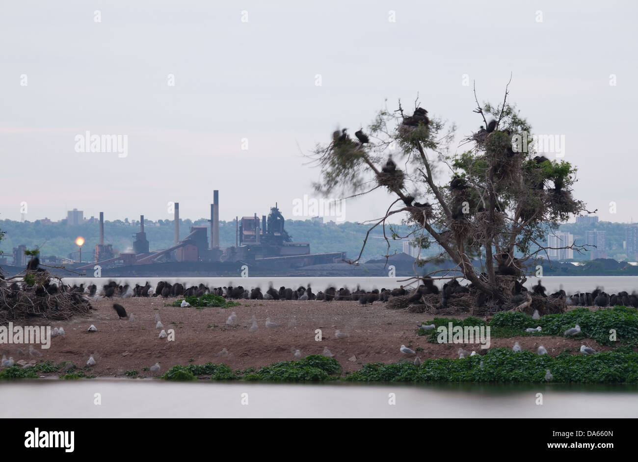Long exposure of cormorants, seagulls and a dead tree in front of heavy industry, Hamilton, Ontario, Canada. - Stock Image