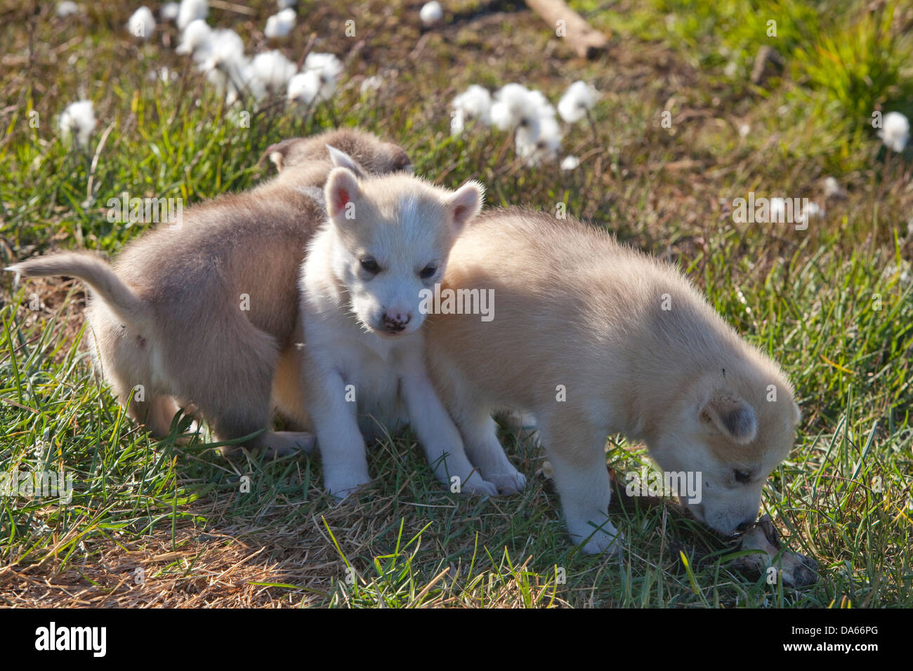 young, sledge dogs, Greenland, East Greenland, animals, animal, dog, - Stock Image