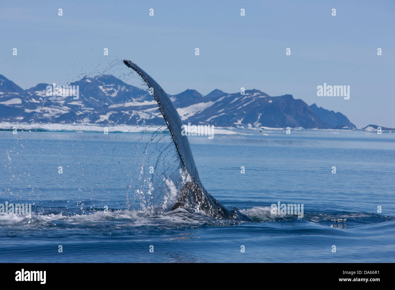 Whale watching, whale observation, humpback whale, Greenland, East Greenland, whale, whales, - Stock Image