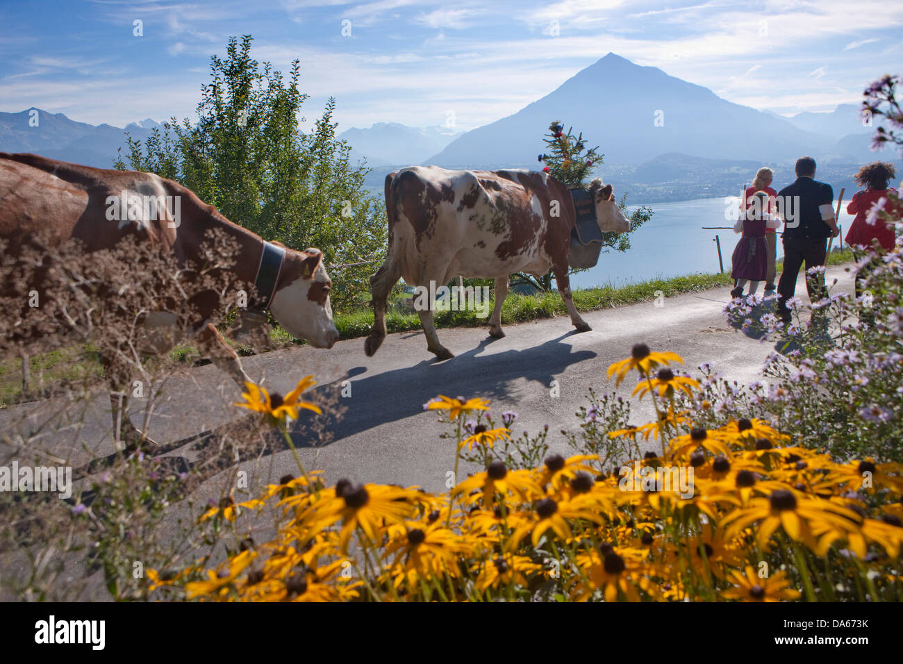 alpine deduction, Justistal, lake of Thun, Niesen, tradition, folklore, national costumes, agriculture, national - Stock Image