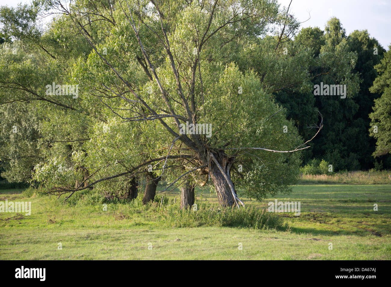 Willow trees in Poland, Masovia, Europe, Mazowsze, polish, masovian landscape Stock Photo