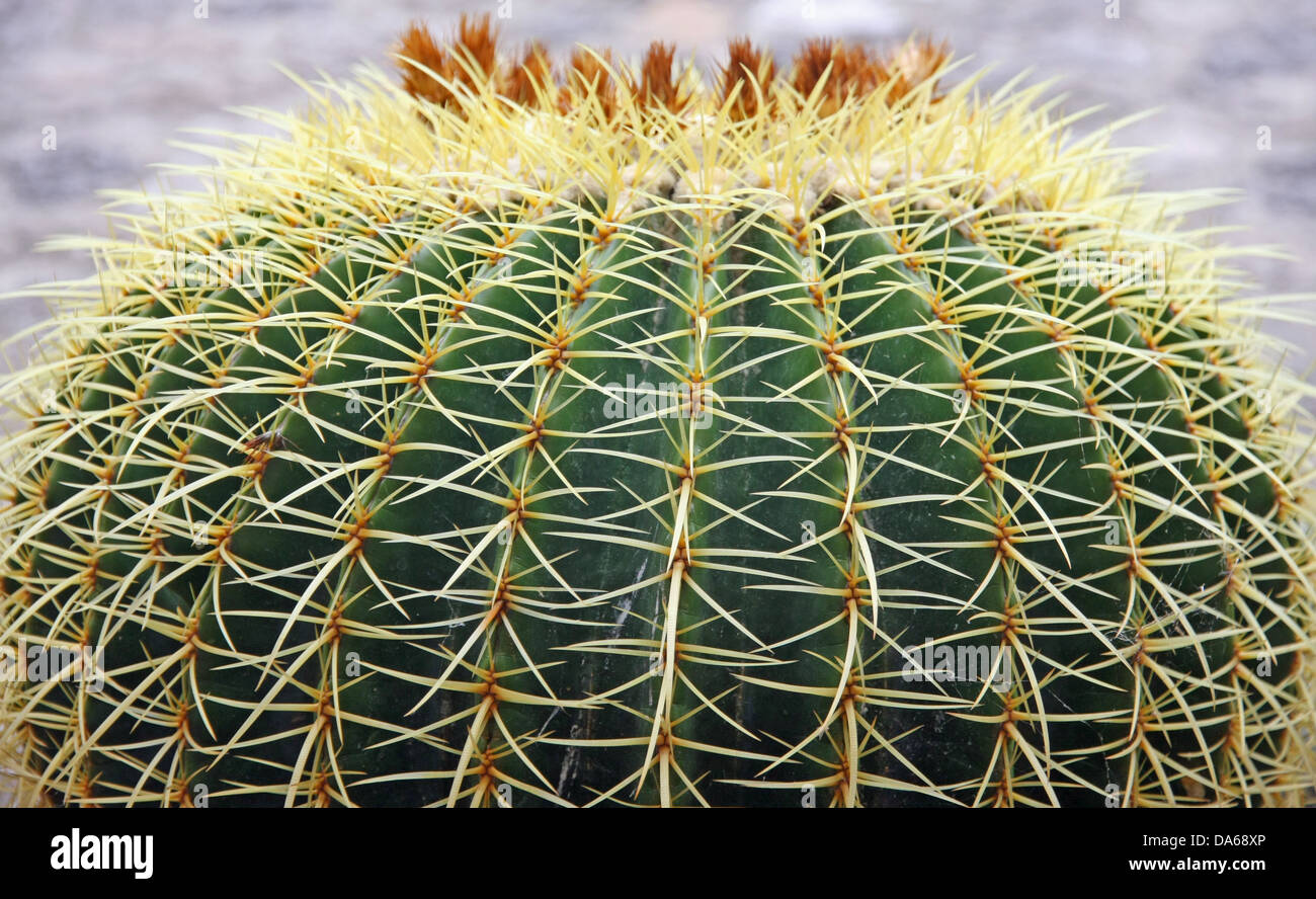 Quills and prickly cactus spines of a very dangerous succulent plant - Stock Image