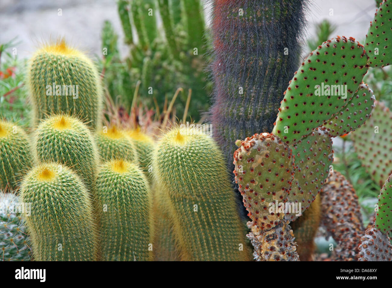 succulents and cactus with very sharp prickles and thorns of the cactus desert plants - Stock Image