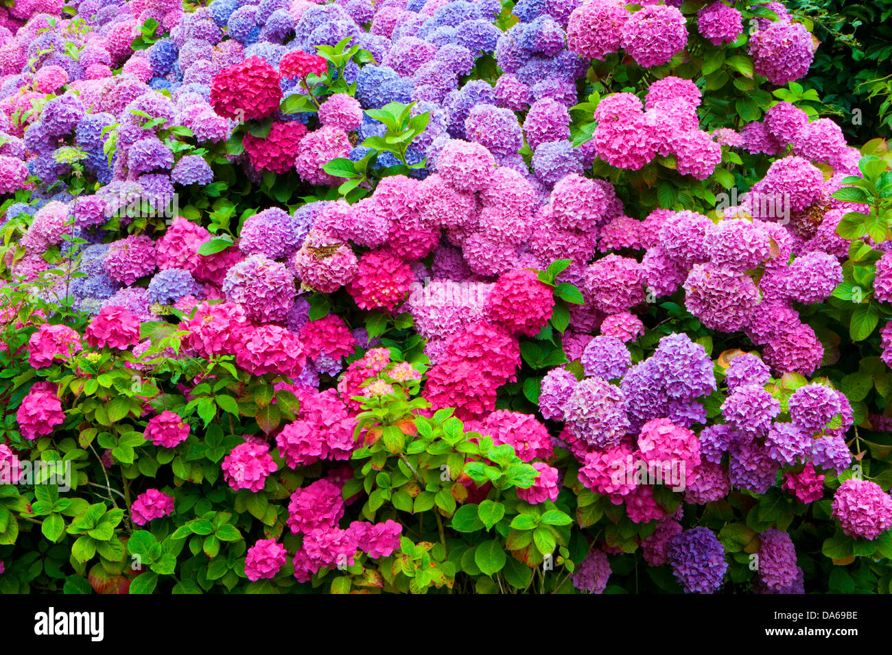 Abbaye de Beauport, Paimpol, France, Europe, Brittany, department Côtes d'Armor, flowers, hydrangeas - Stock Image