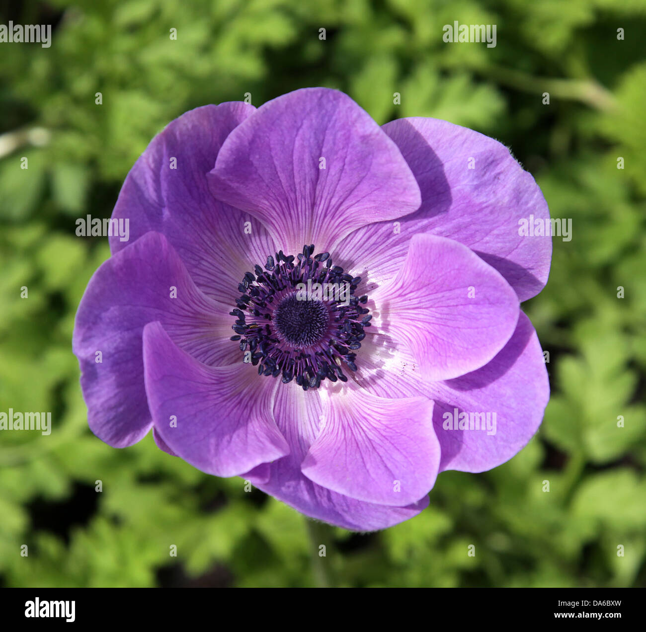 Purple Poppy is an angiosperm or flowering plant of the family Papaveraceae - Stock Image