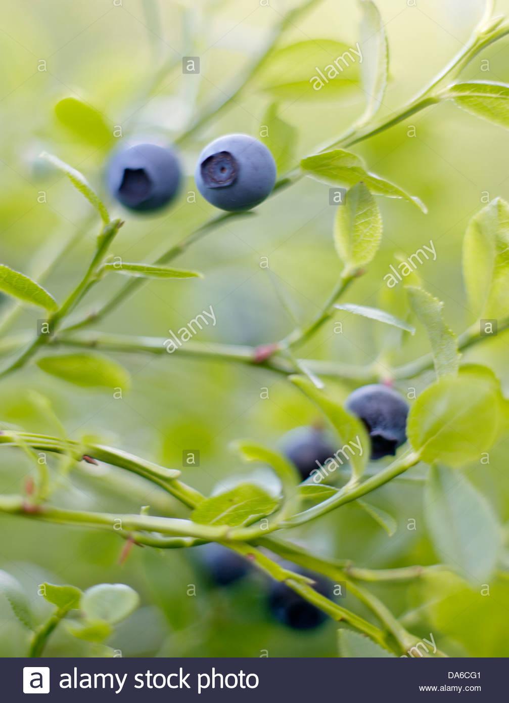 Blueberries growing on twig - Stock Image