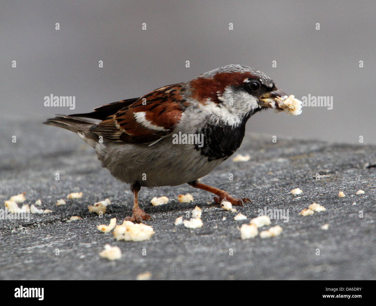 Close-up of a male House Sparrow (Passer domesticus) visiting my balcony (over 40 images in series) Stock Photo