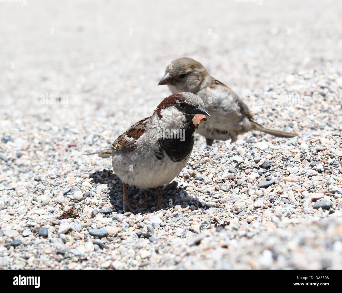 Close-up of a male and female House Sparrow (Passer domesticus) on the beach, looking for food Stock Photo