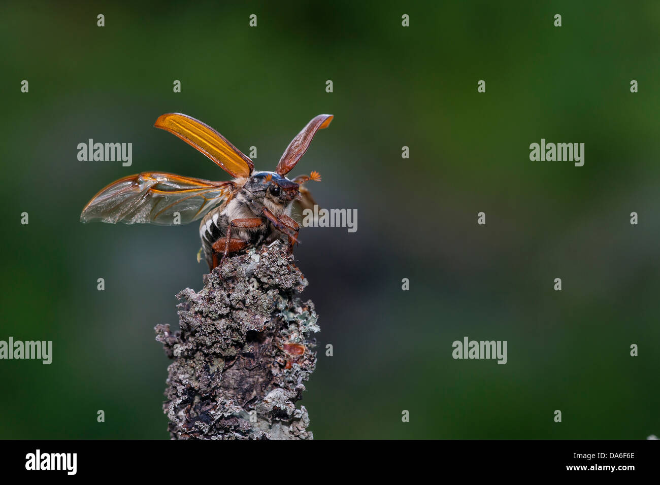 Cockchafer (Melolontha melolontha) taking off Stock Photo