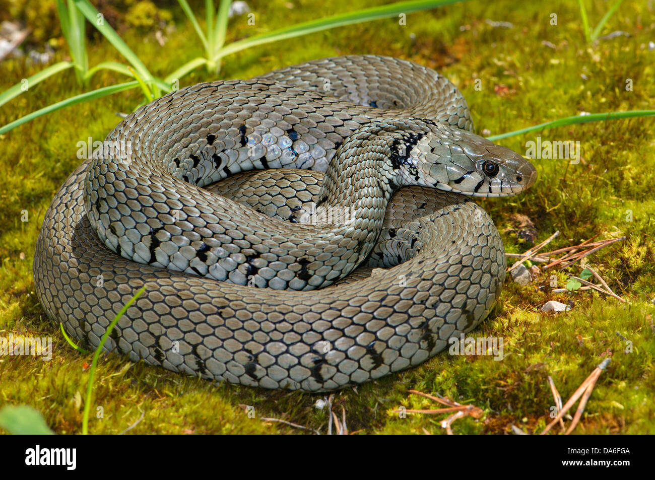 Grass snake, colubrid, colubrids, Natrix natrix helvetica, snake, snakes, reptile, reptiles, general view, protected, - Stock Image