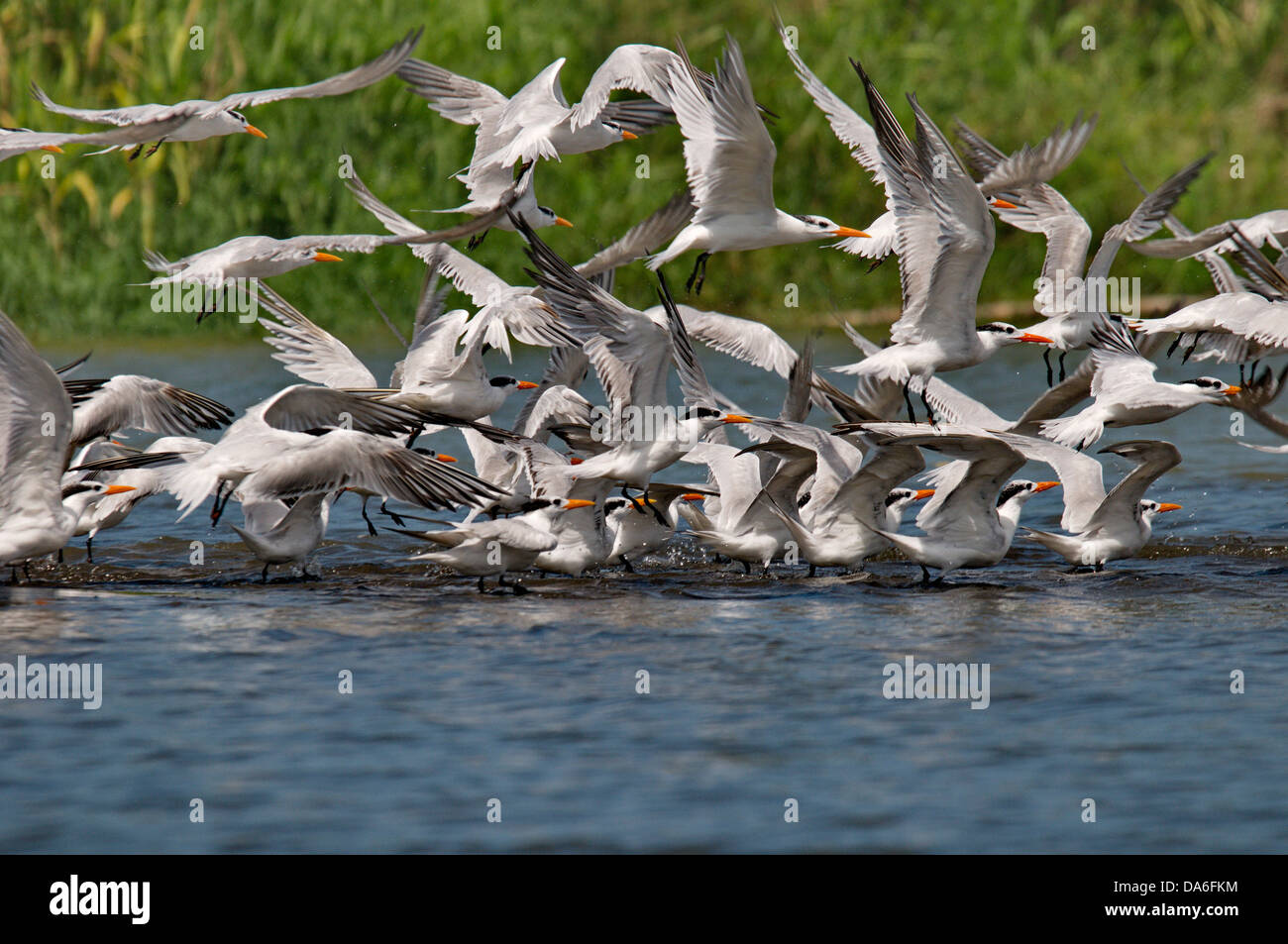 tern, terns, Sternidae, Laridae, bird, birds, animal, animals, fauna, wildlife, wild animal, nature, Costa Rica, - Stock Image