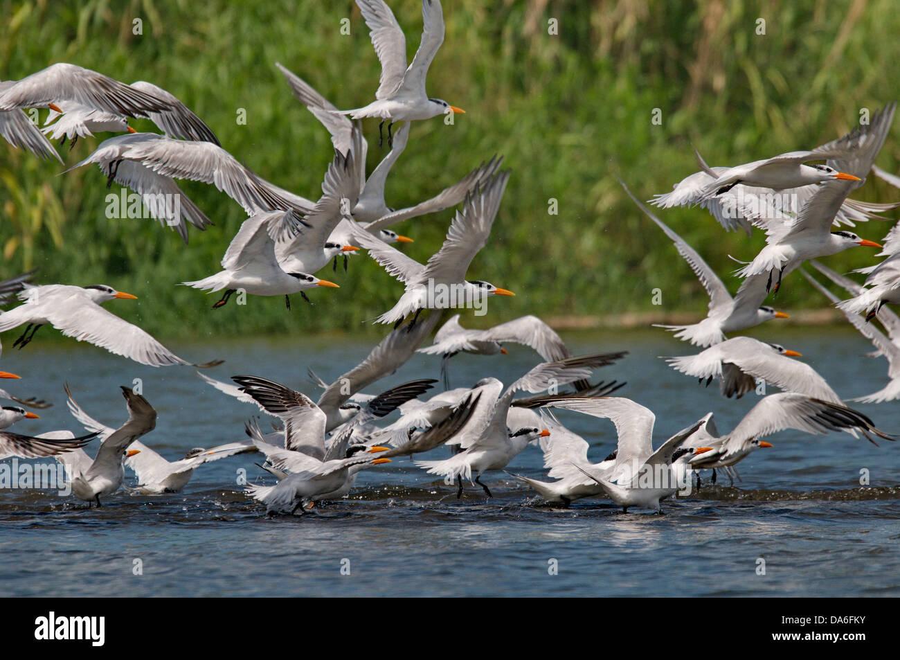 tern, terns, Sternidae, Laridae, bird, birds, animal, animals, fauna, wildlife, wild animal, nature, Costa Rica, - Stock Image