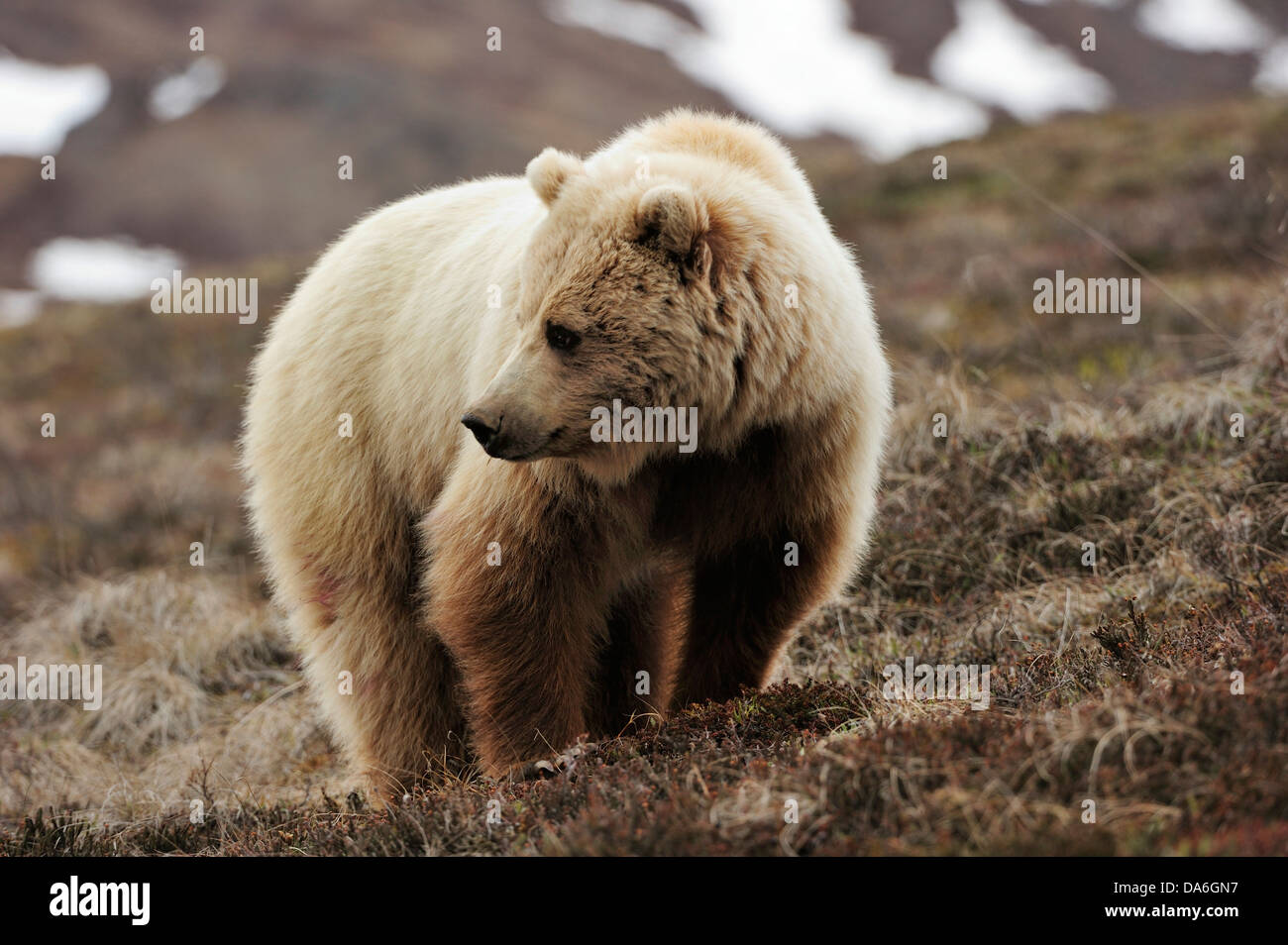 Grizzly Bear (Ursus arctos horribilis) in the Arctic tundra - Stock Image