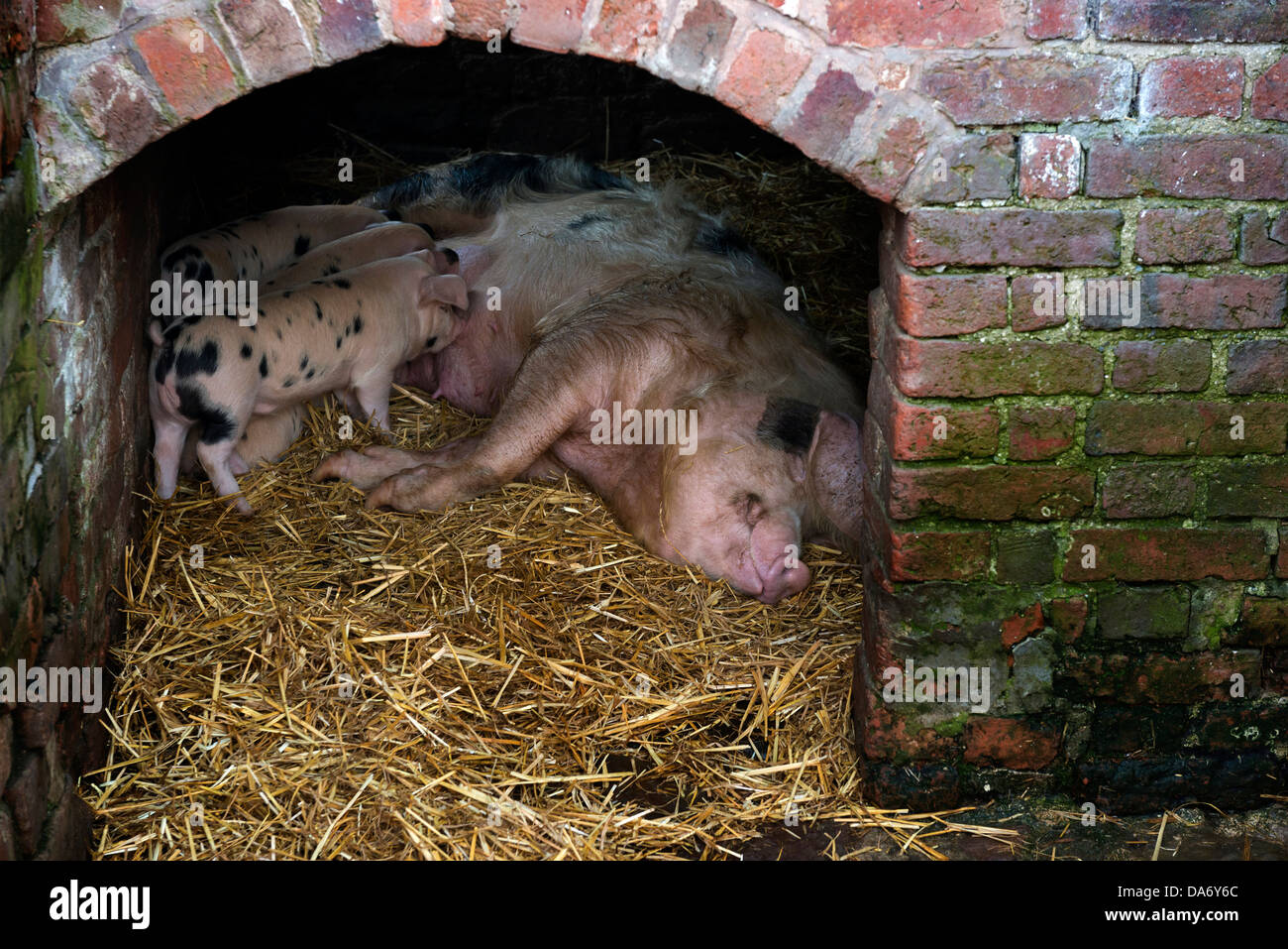 Pig with piglets. Acton Scott historic working farm - Stock Image
