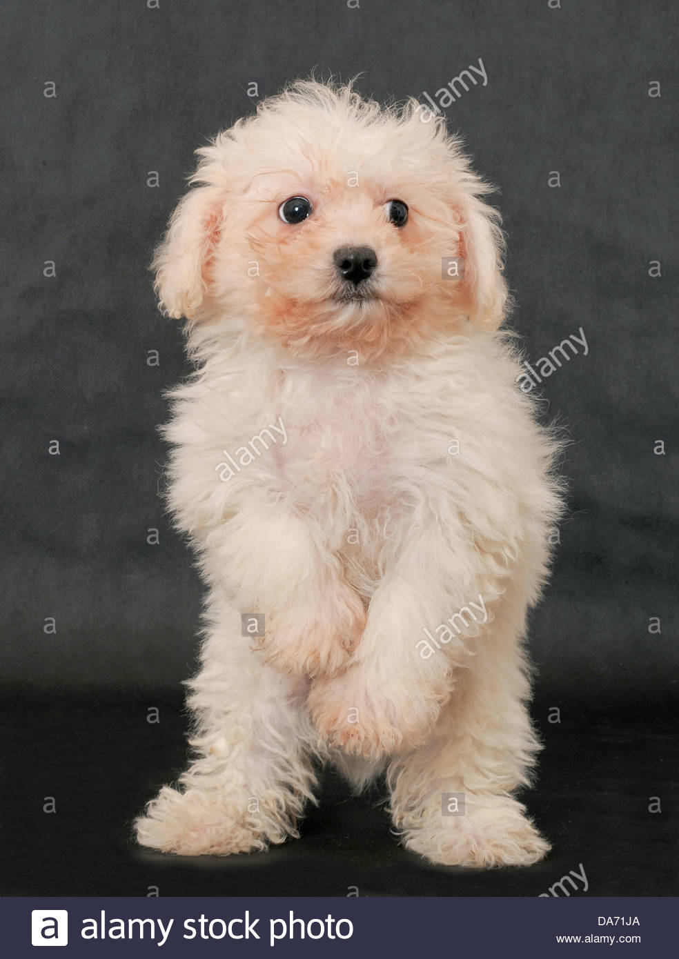 Bolognese Dogs Stock Photos Bolognese Dogs Stock Images Alamy