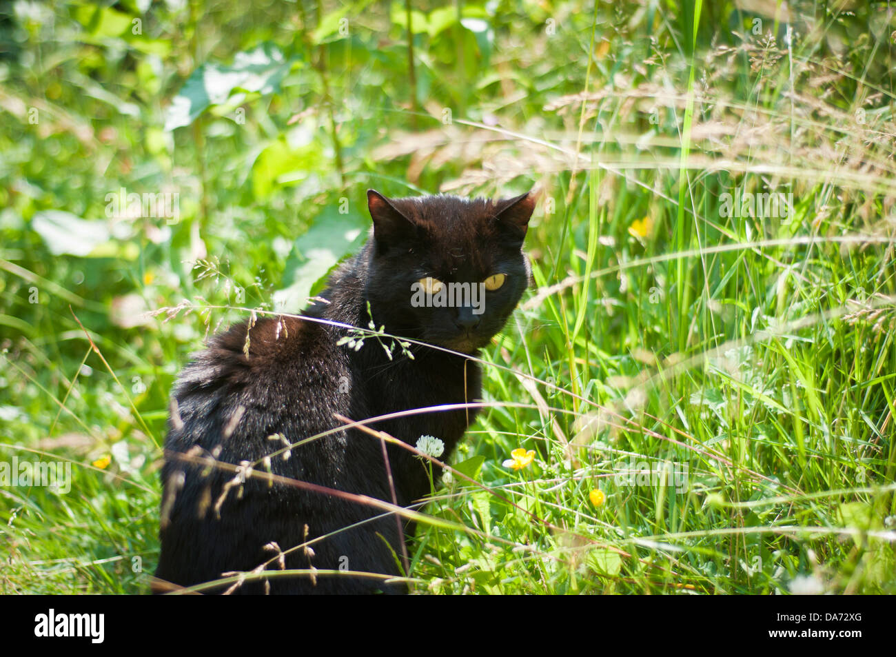 A black cat with piercing yellow eyes sits staring in a garden of green grass in summer - Stock Image