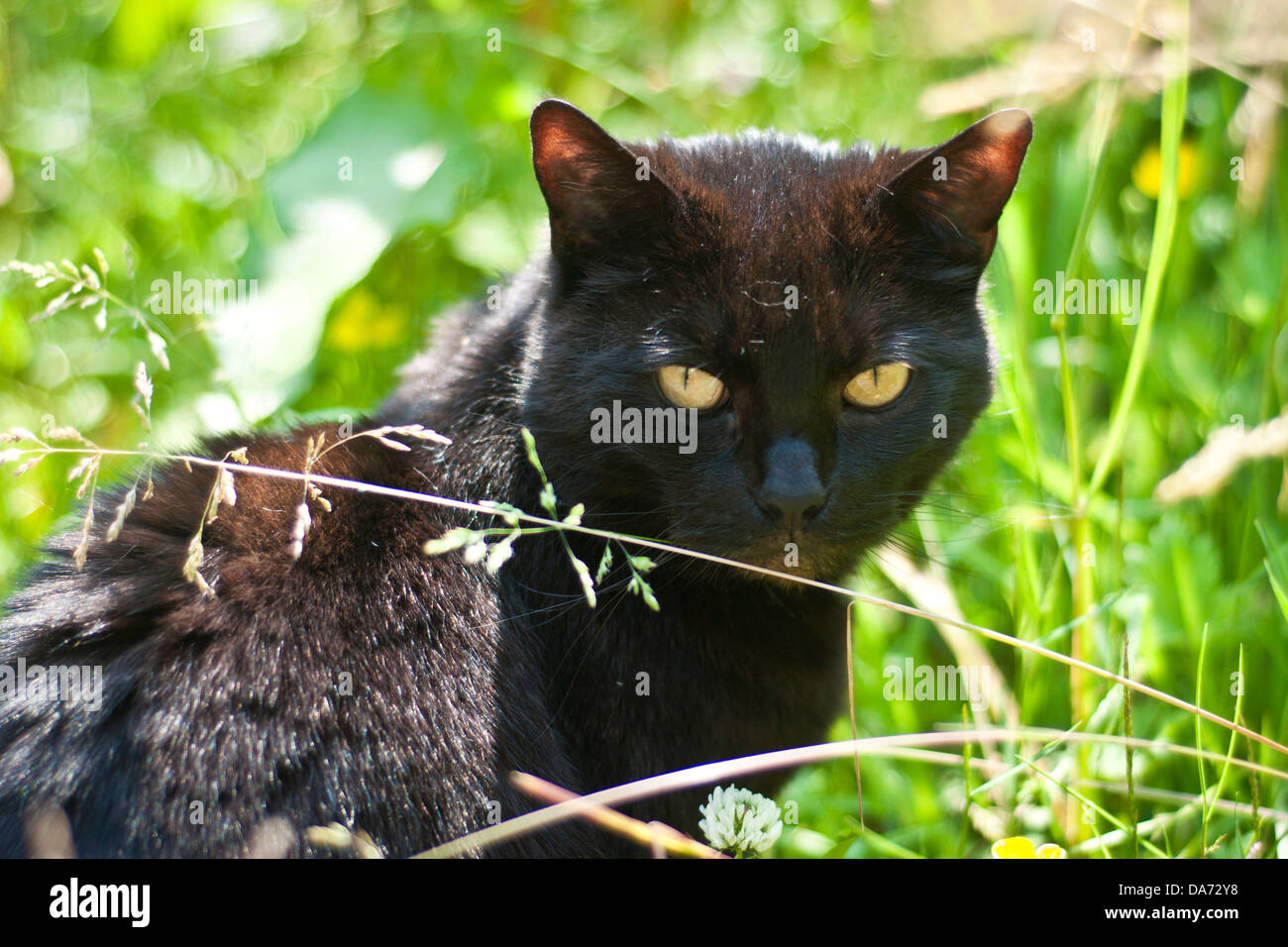A black cat with piercing yellow eyes sits staring in a garden of green grass - Stock Image