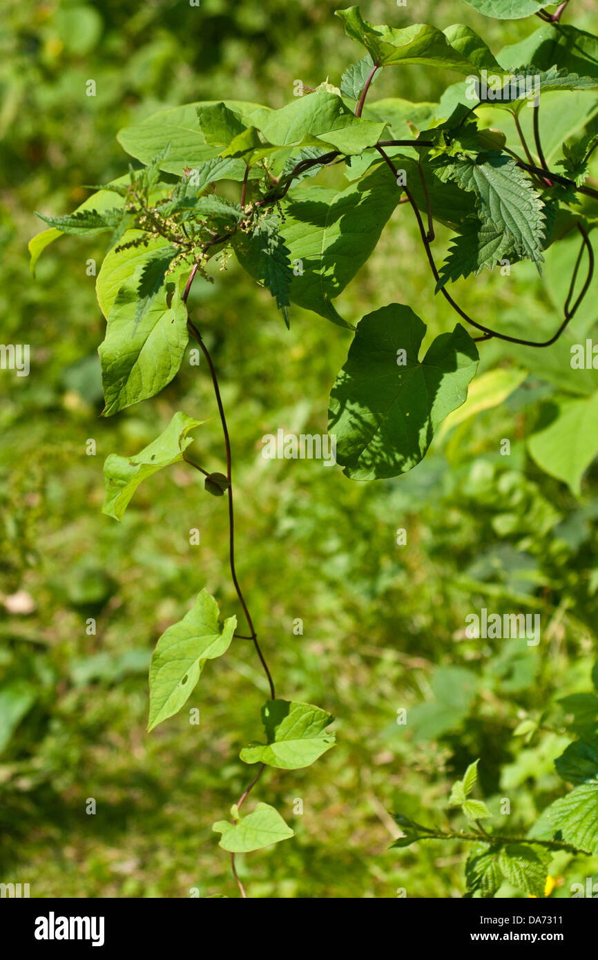 Japanese Knotweed In Your Garden: Knotweed Stock Photos & Knotweed Stock Images