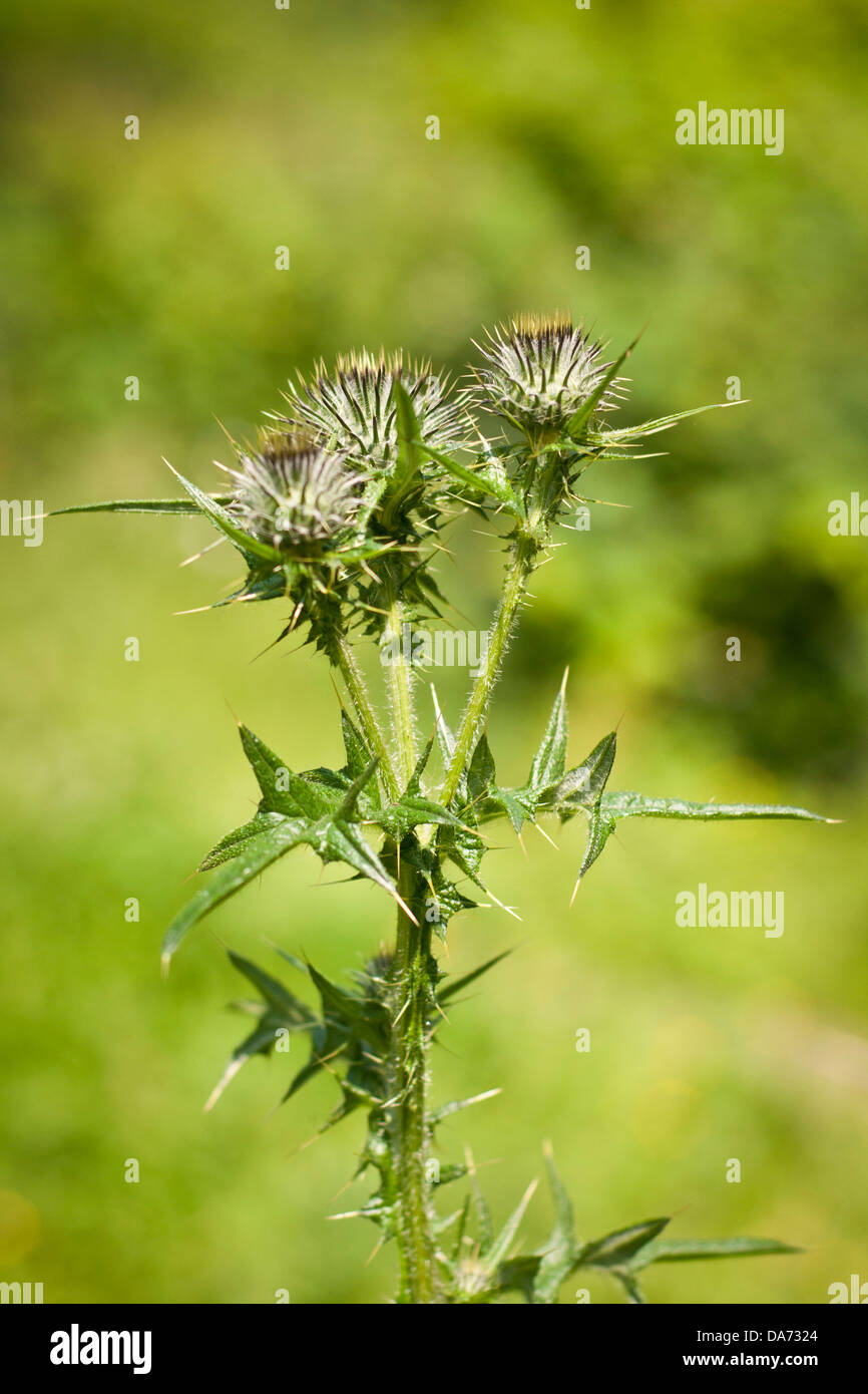 Thistles in a garden in summer - Stock Image