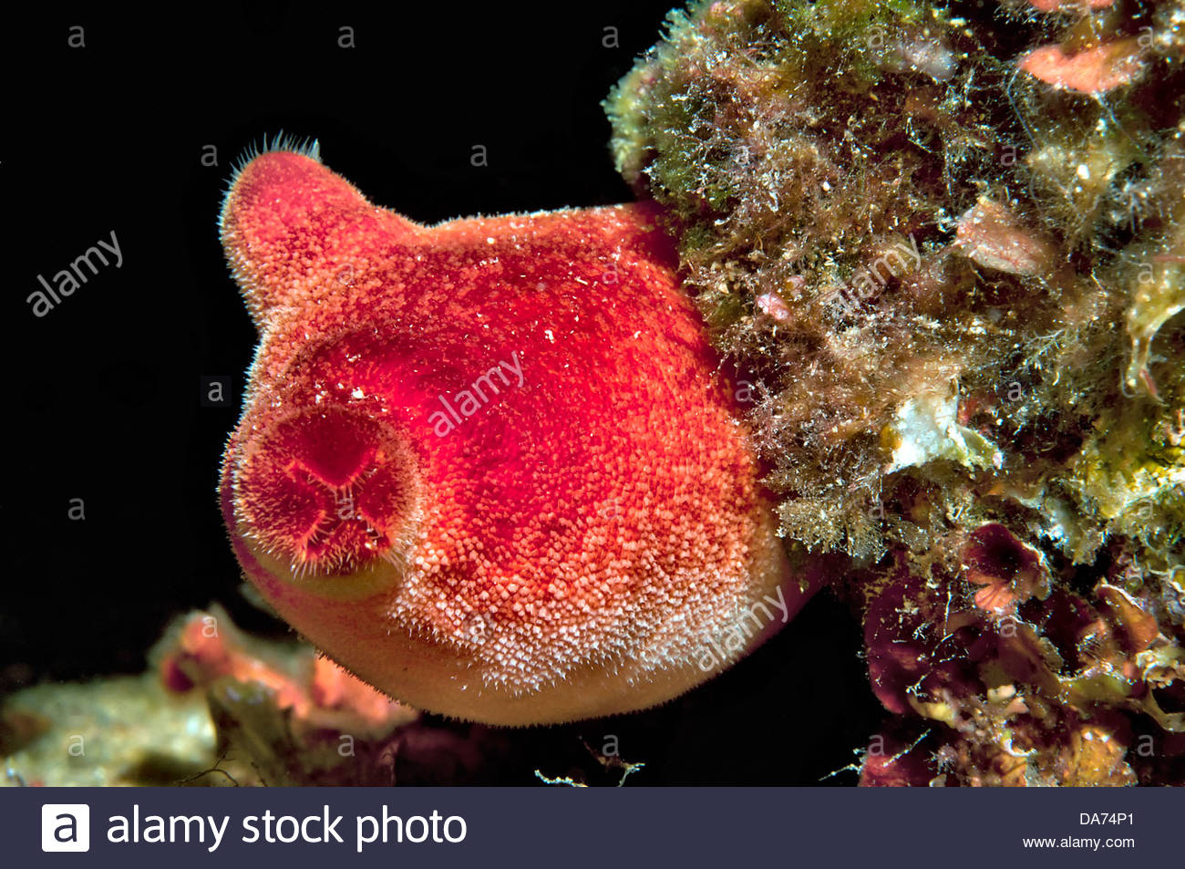 red sea squirt,halocynthia papillosa - Stock Image