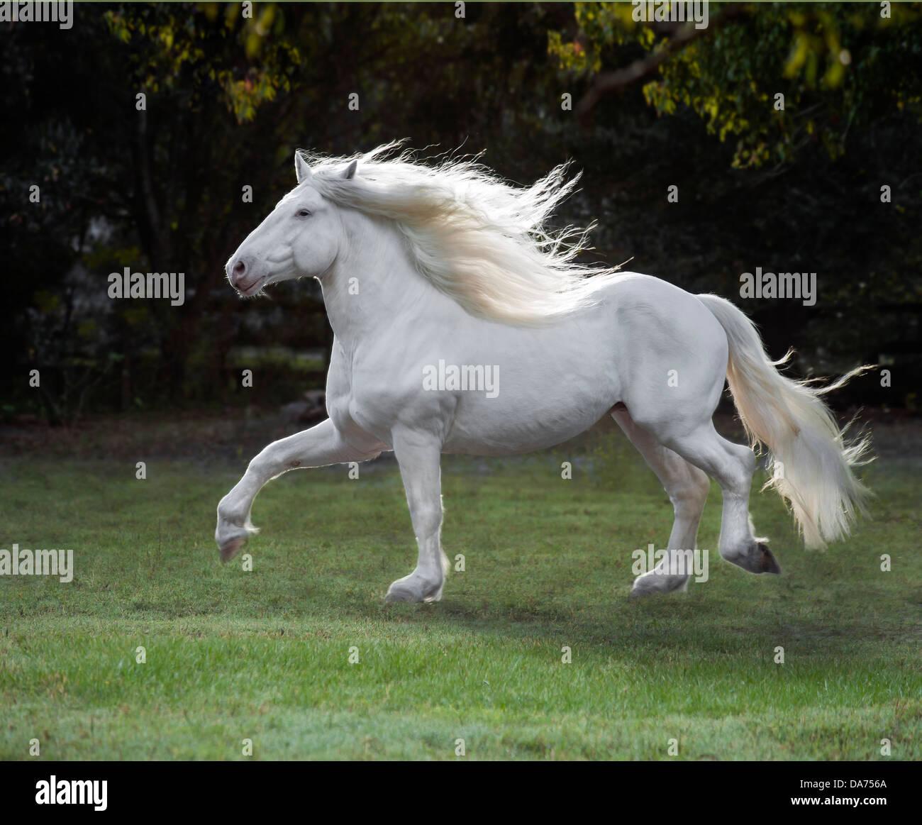 American White Draft Horse Stallion Stock Photo Alamy