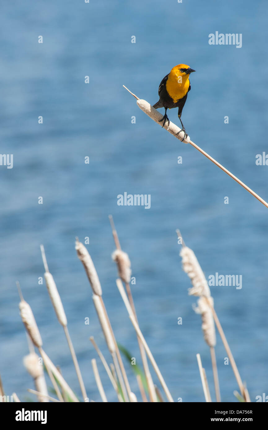 Yellow Headed Blackbird perched on cattail Stock Photo
