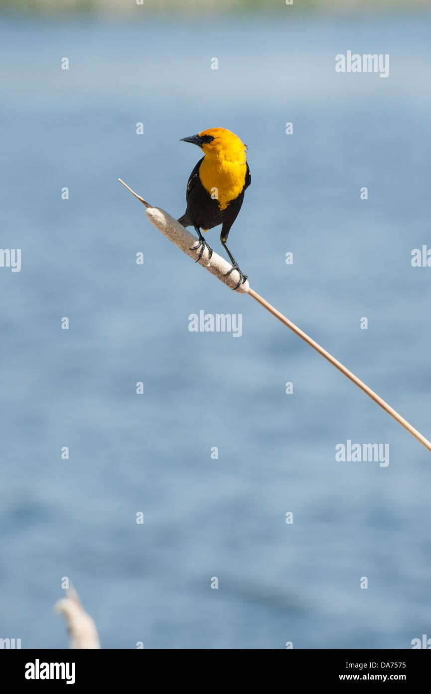 Yellow Headed Blackbird - Stock Image