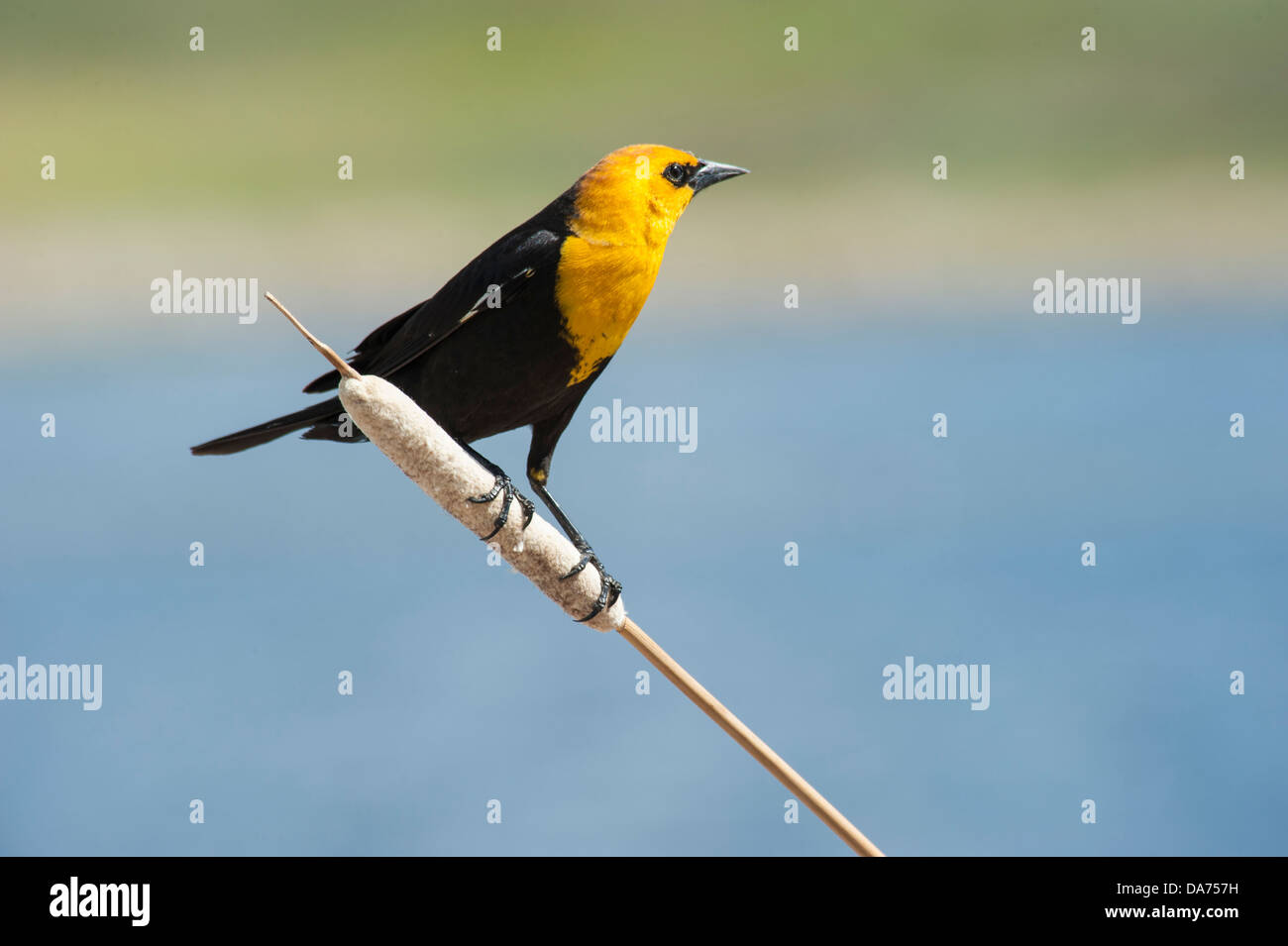 Yellow Headed Blackbird Stock Photo