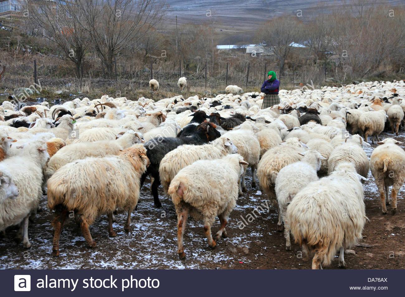 woman takes care of his flocks of sheep,tabatskuri,georgia - Stock Image