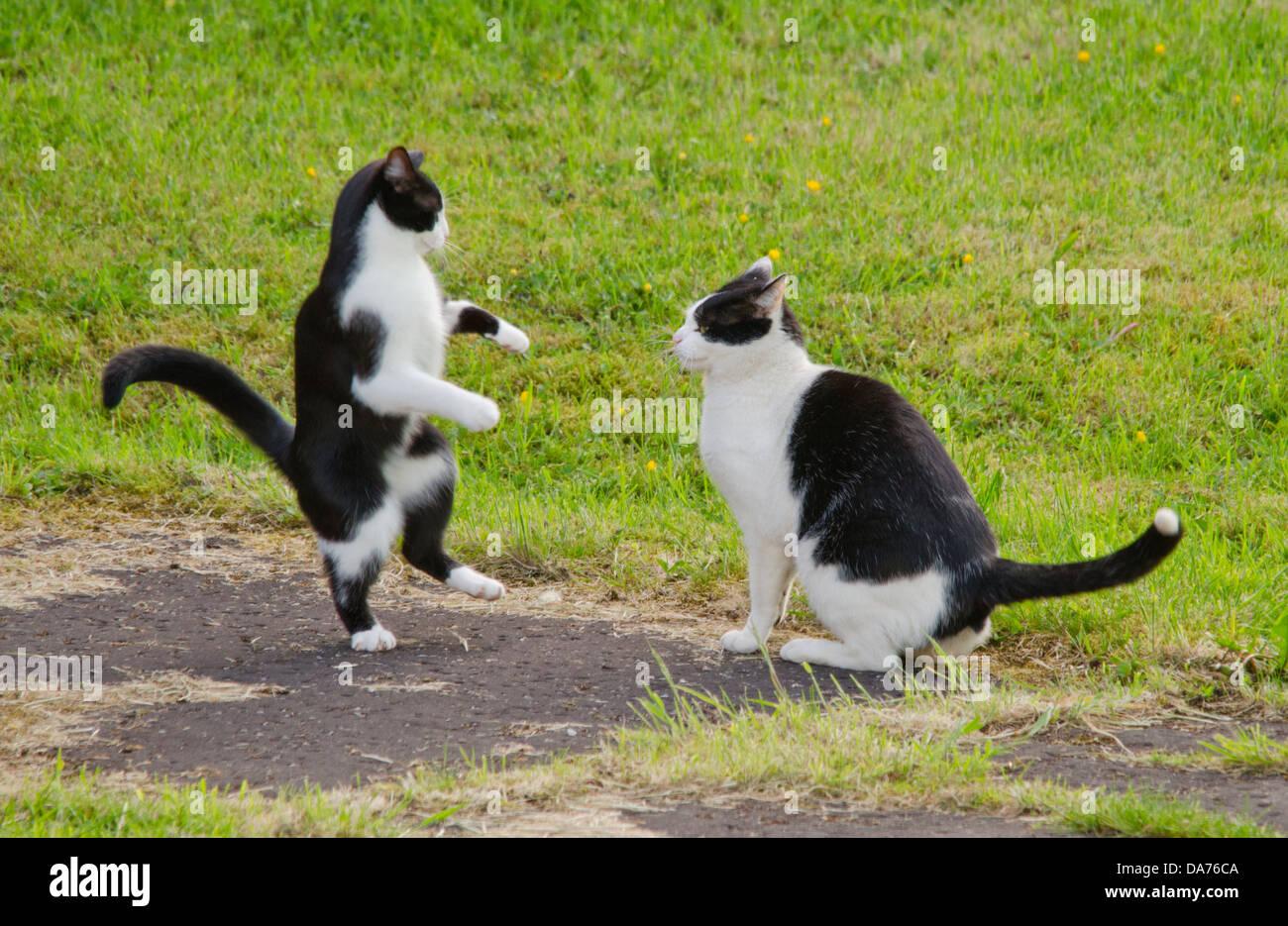 Tuxedo Cats - Stock Image