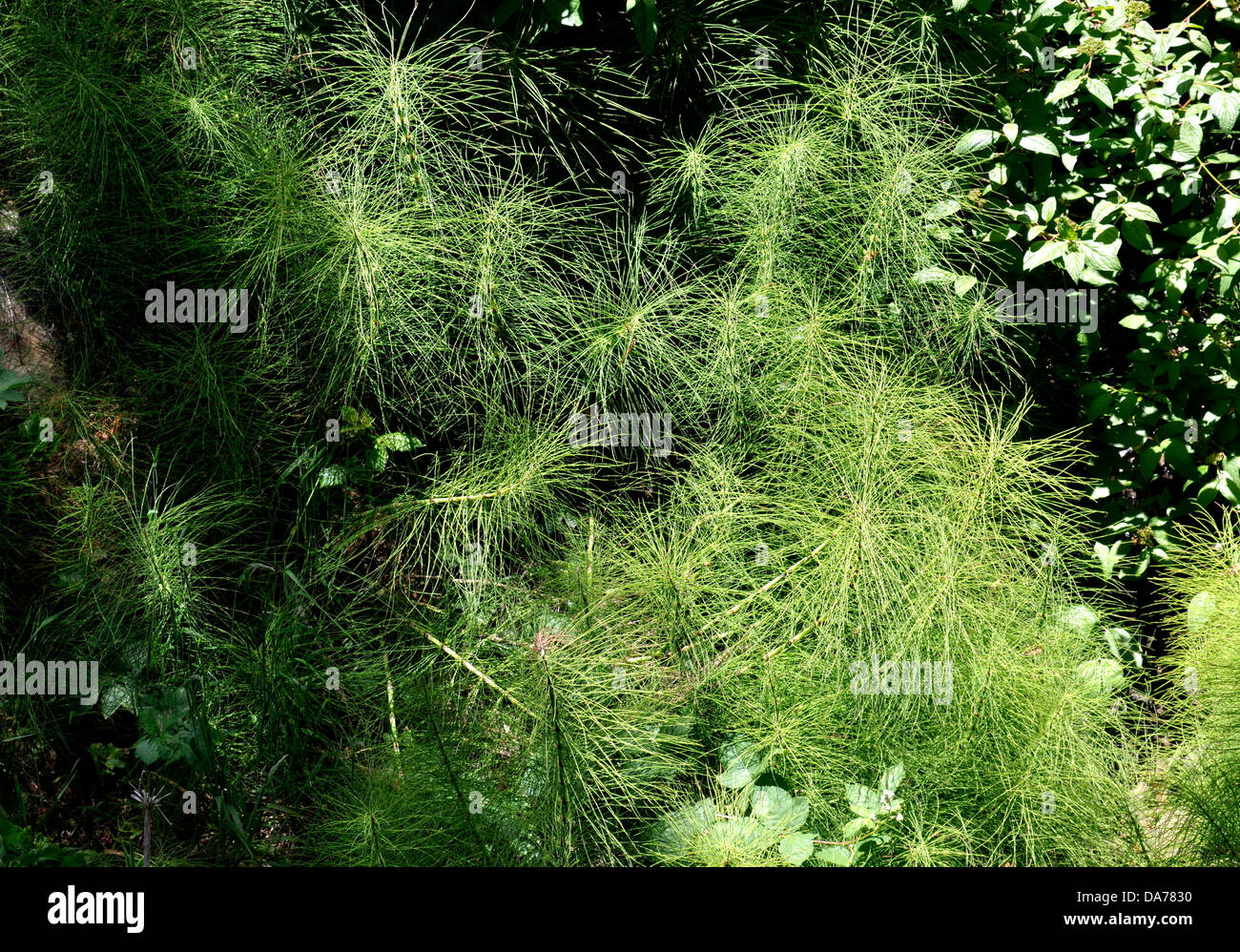 Horsetails, Equisteum, In McLaren Park, San Francisco, California, USA
