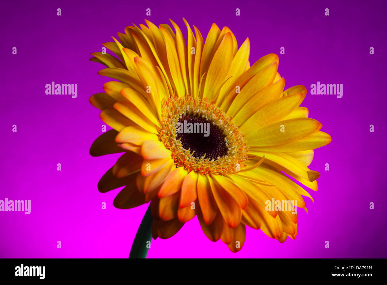 Still life image of a Gerbera flower on a coloured background with full and selective focus - Stock Image