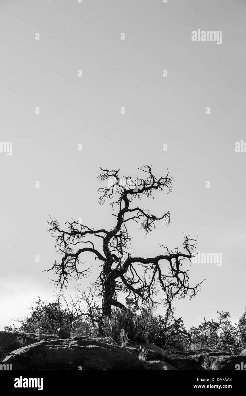 June 9, 2013 - Sedona, Arizona, U.S. - A lone tree in monochrome. Sedona is a city that straddles the county line - Stock Image