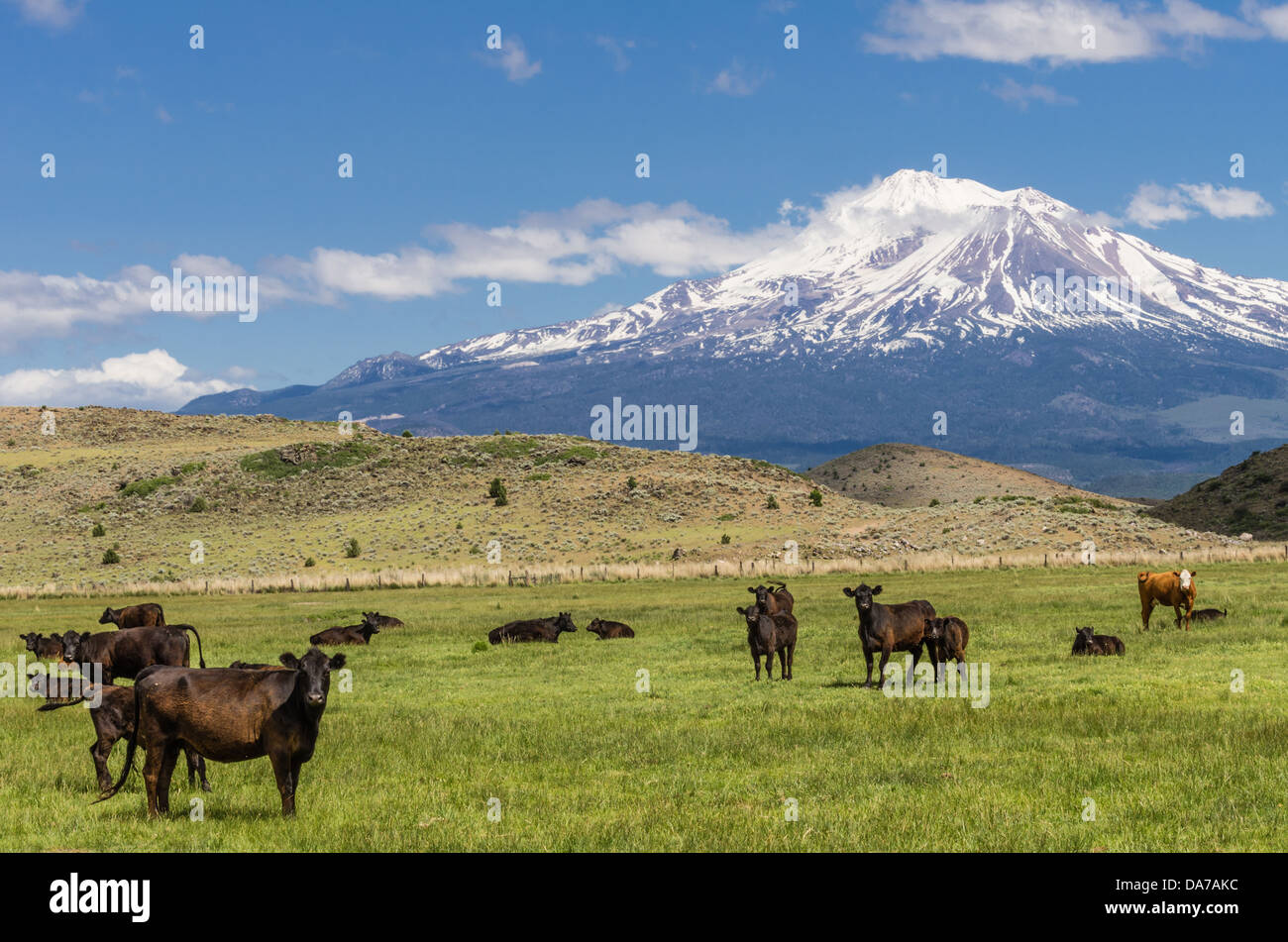 Weed California United States.  View of Mt Shasta showing pasture fields and a herd of cattle Stock Photo
