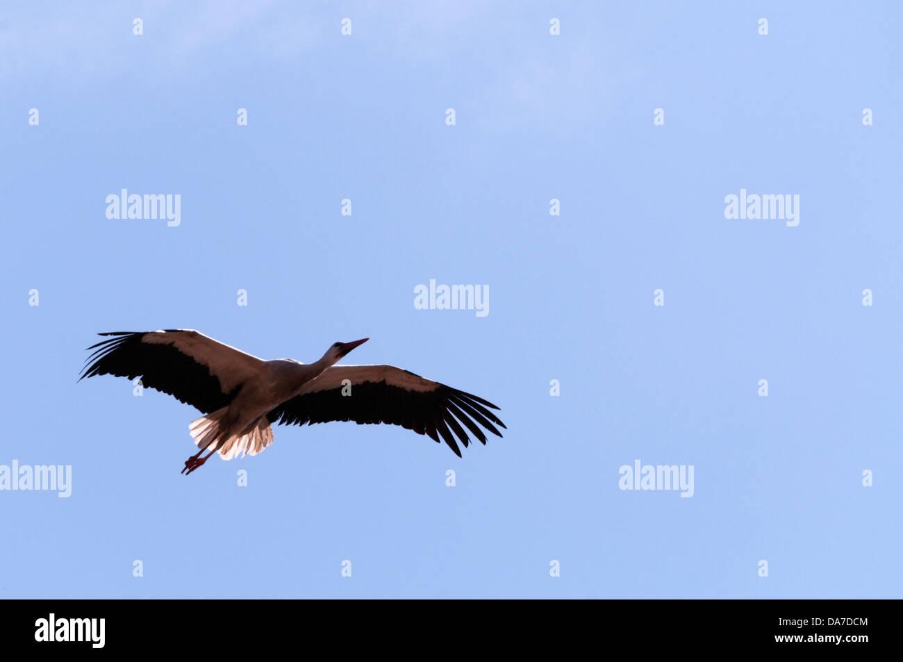 White Stork (Ciconia ciconia) flying Stock Photo