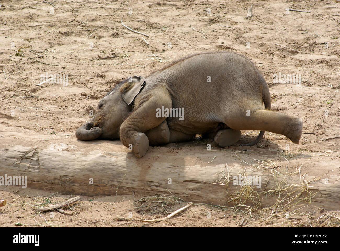sleeping elephant stock photos amp sleeping elephant stock