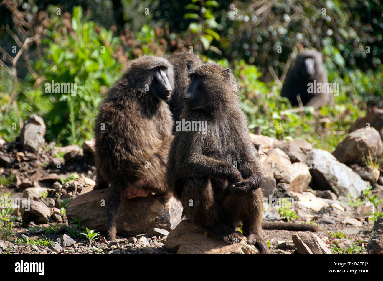 Baboons on the side of the road, Ethiopia - Stock Image