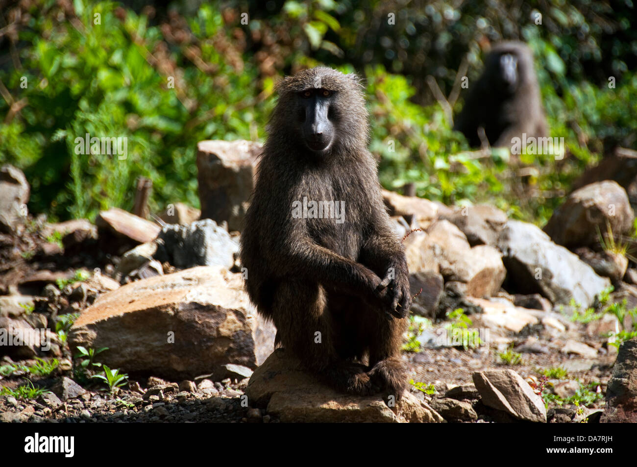 Baboon on the side of the road, Ethiopia - Stock Image