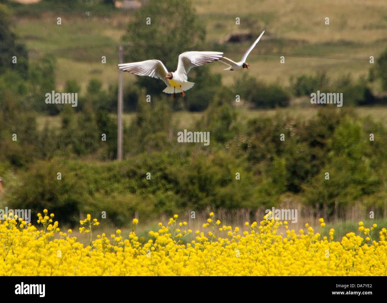 Black-Headed Gull - Larus ridibundus coming into land amongst the rapeseed, Stock Photo