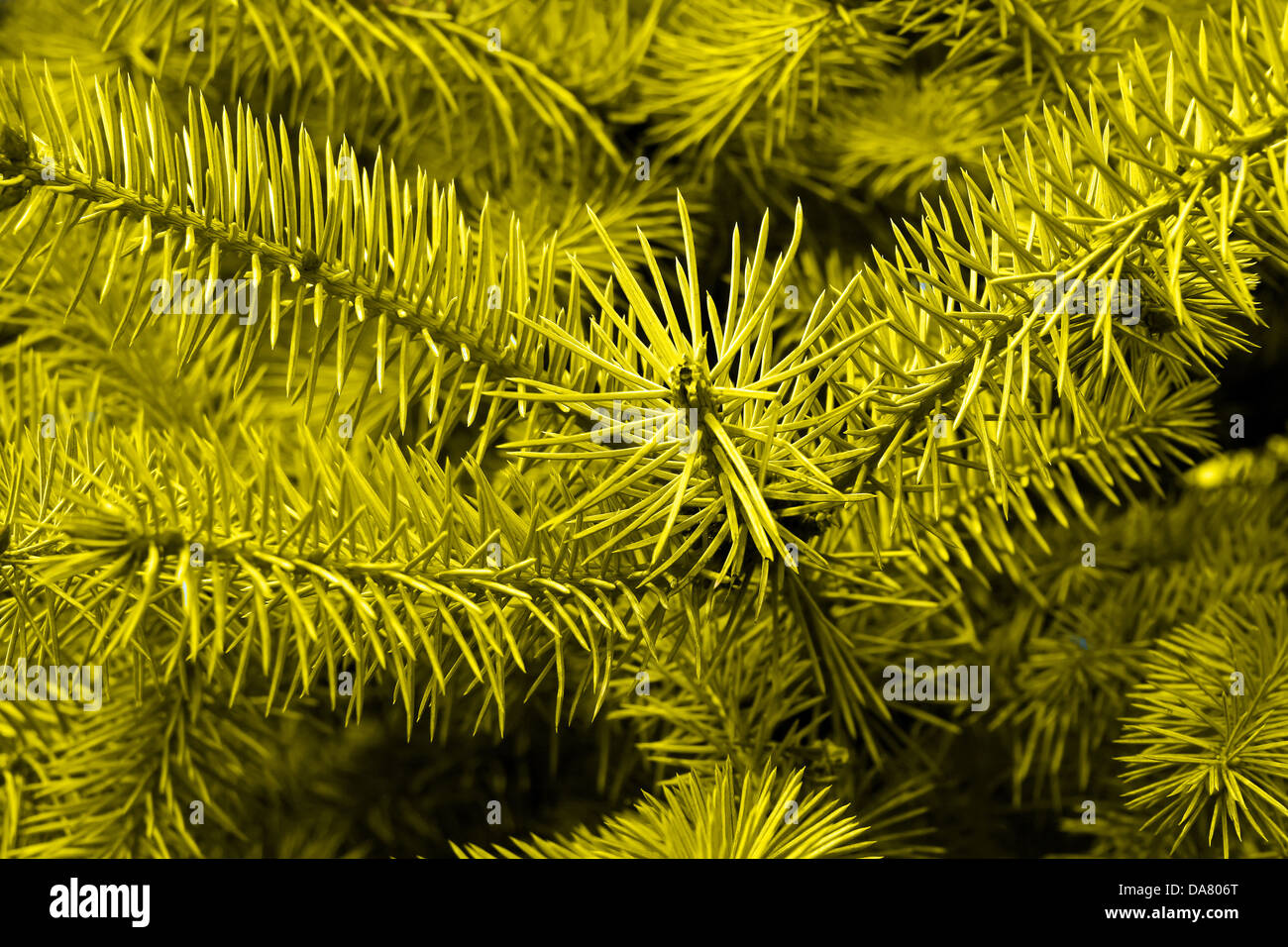 this is a closeup shot of yellow pine tree, like nice nature background - Stock Image