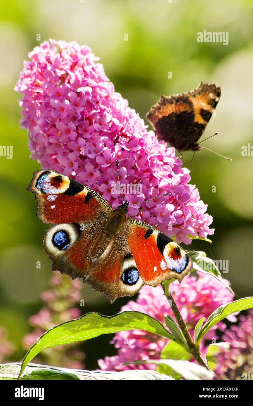 Pink butterfly bush flowers in summer with Peacock- and small tortoiseshell butterflies - Stock Image