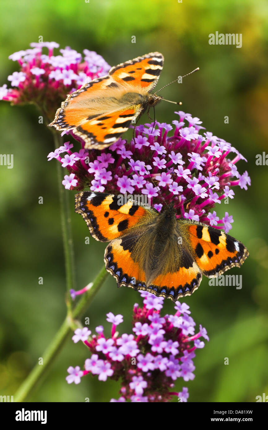 Small tortoiseshell or Aglais urticae butterflies on purple Verbena flowers in summer - Stock Image