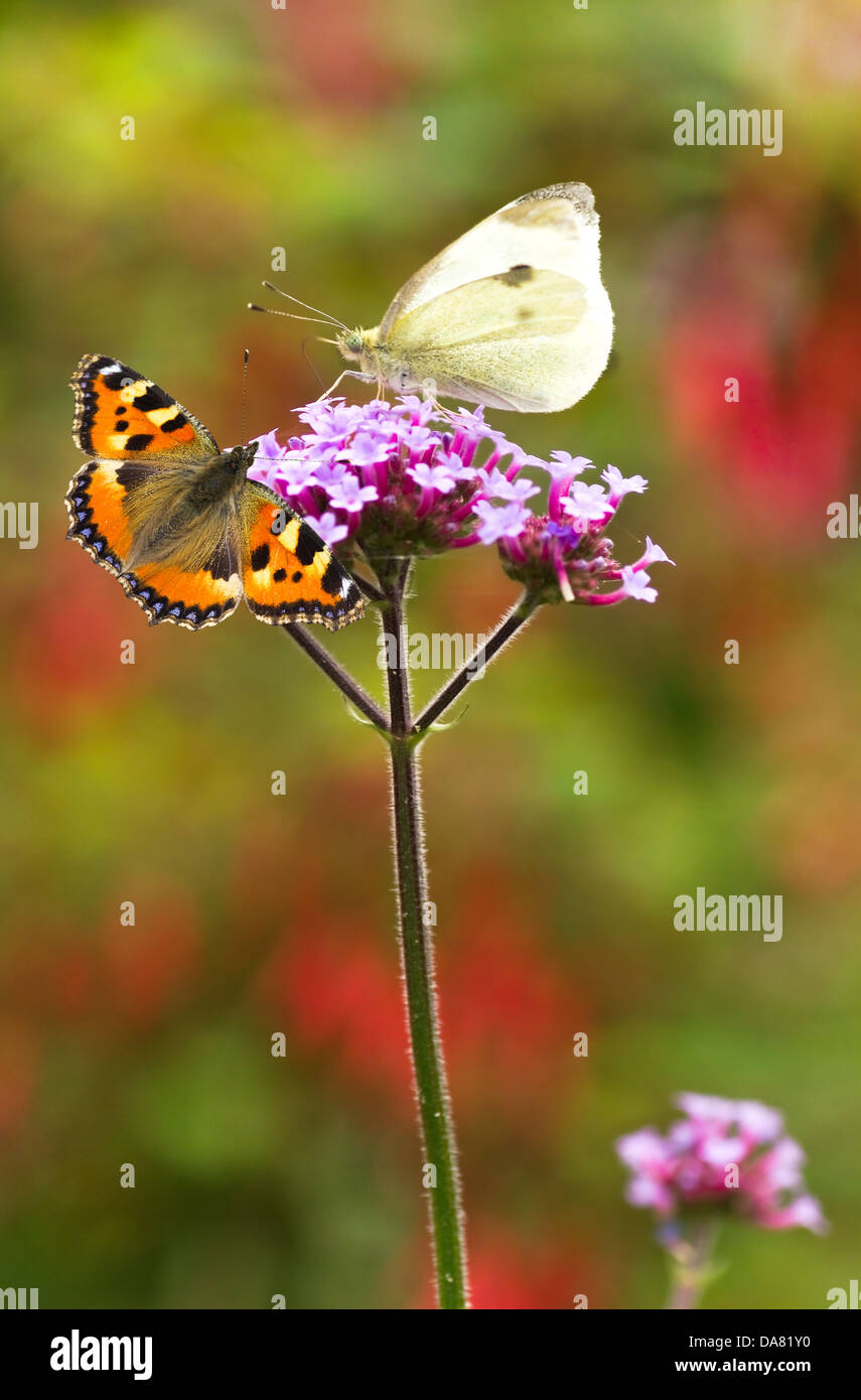 Verbena flowers with Large white and Small tortoiseshell butterflies in summer garden - Stock Image