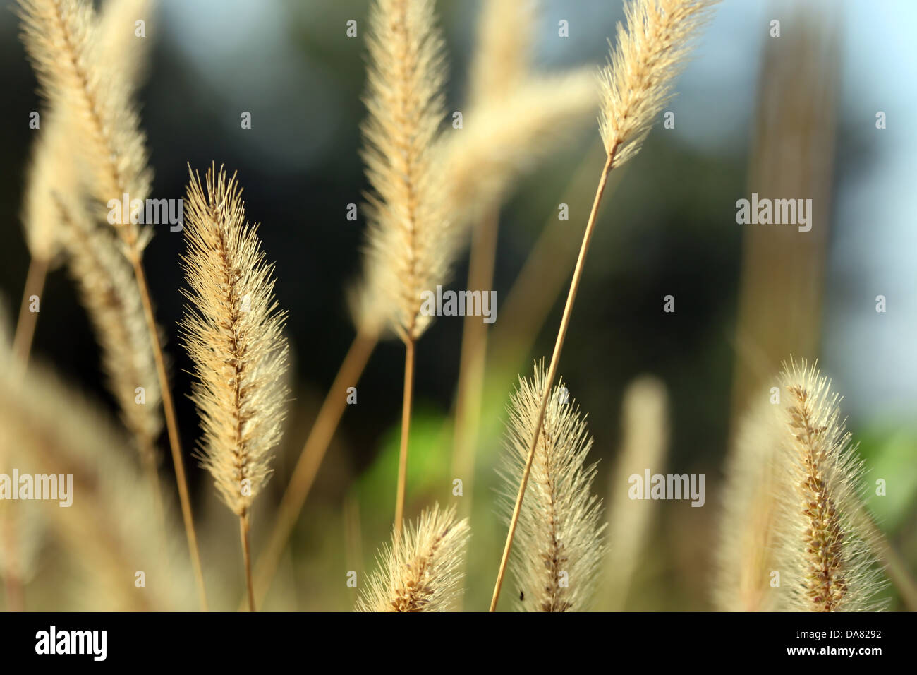 This is a weed, dry, dead plant, like some nature background. - Stock Image