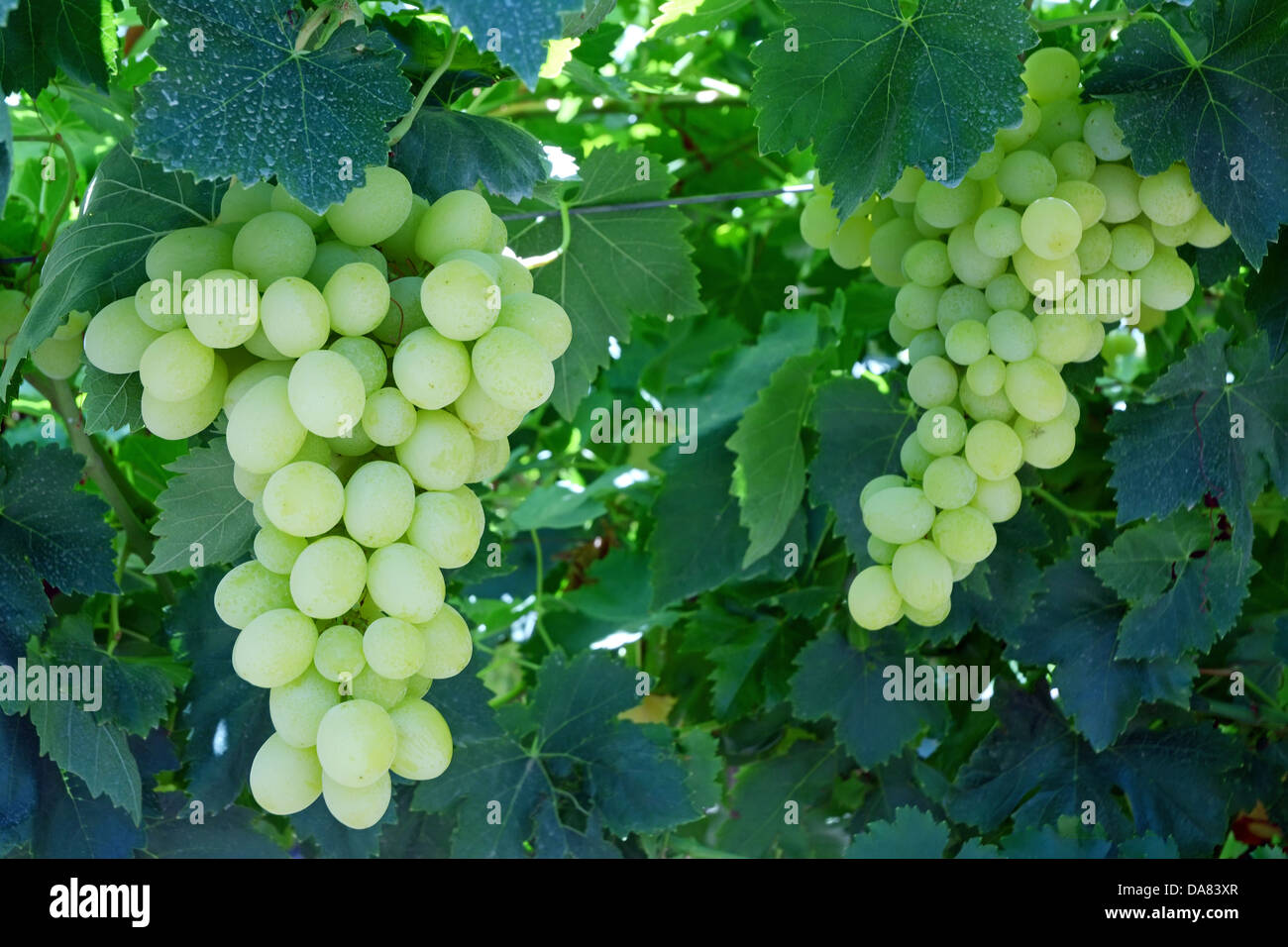 White Grape on a vine Stock Photo